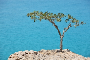 Boswala tree makes the essential oil frankincense which is helpful to hospice patients
